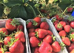 Selbstpflücke von Erdbeeren in Deutenkofen hat begonnen